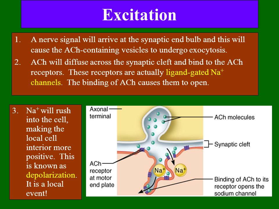 Excitation 1.A nerve signal will arrive at the synaptic end bulb and this will cause the ACh-containing vesicles to undergo exocytosis. 2.ACh will dif
