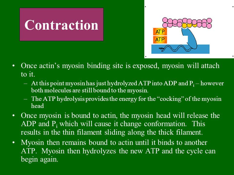Contraction Once actin's myosin binding site is exposed, myosin will attach to it. –At this point myosin has just hydrolyzed ATP into ADP and P i – ho