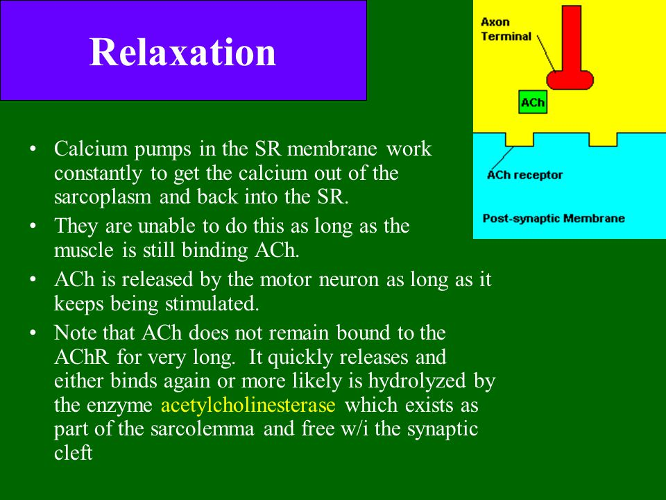 Relaxation Calcium pumps in the SR membrane work constantly to get the calcium out of the sarcoplasm and back into the SR. They are unable to do this