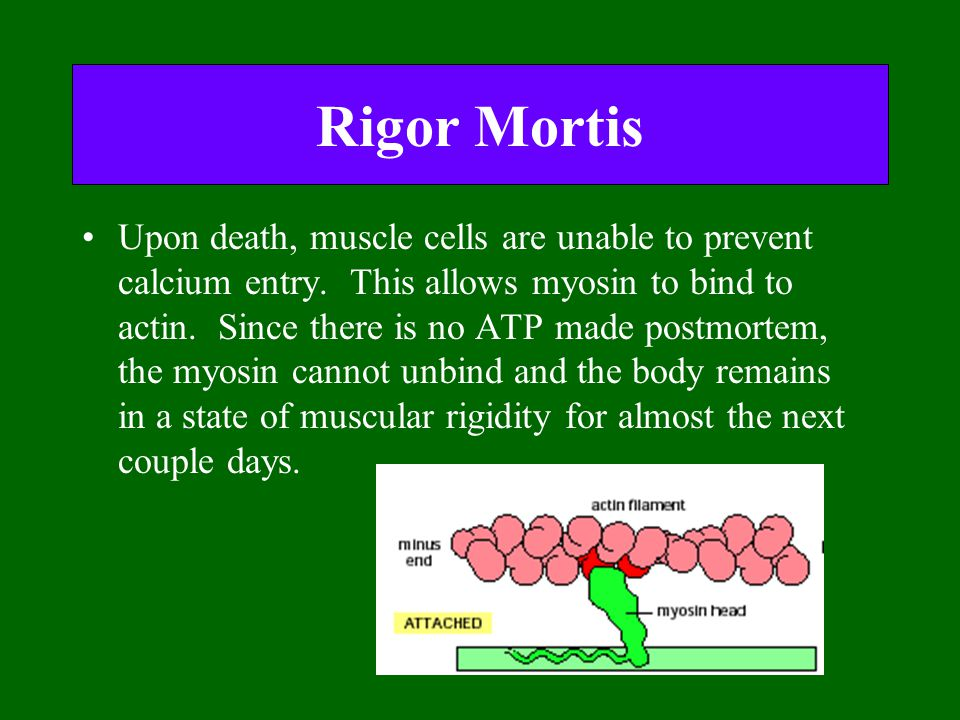 Rigor Mortis Upon death, muscle cells are unable to prevent calcium entry. This allows myosin to bind to actin. Since there is no ATP made postmortem,