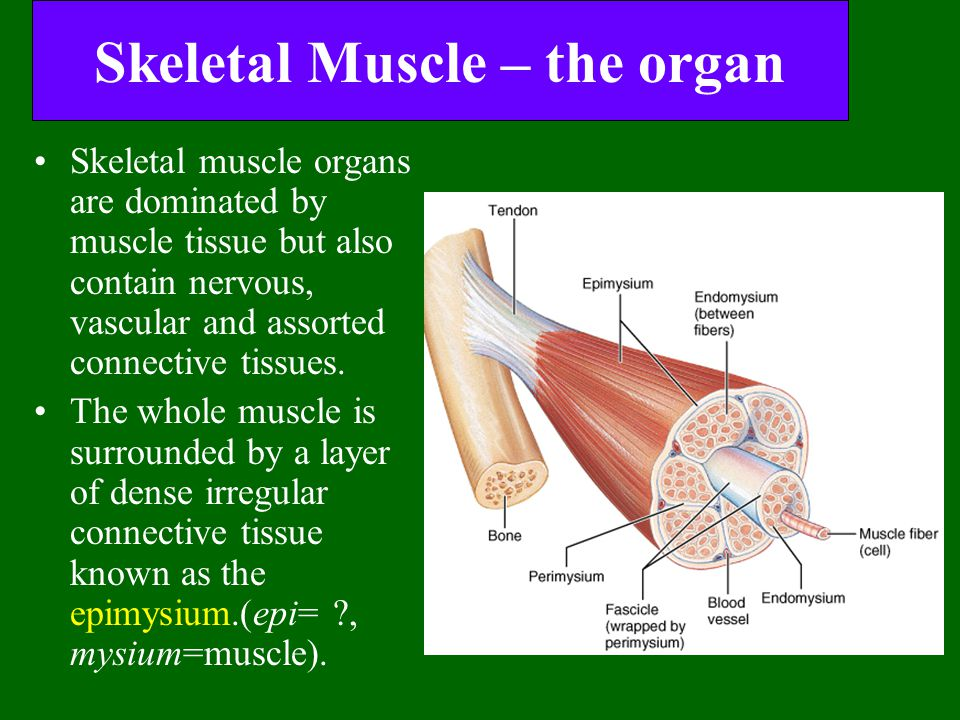 Skeletal Muscle – the organ Skeletal muscle organs are dominated by muscle tissue but also contain nervous, vascular and assorted connective tissues.