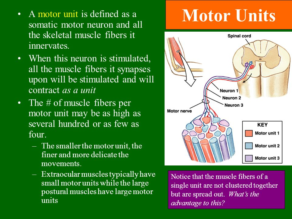 Motor Units A motor unit is defined as a somatic motor neuron and all the skeletal muscle fibers it innervates. When this neuron is stimulated, all th