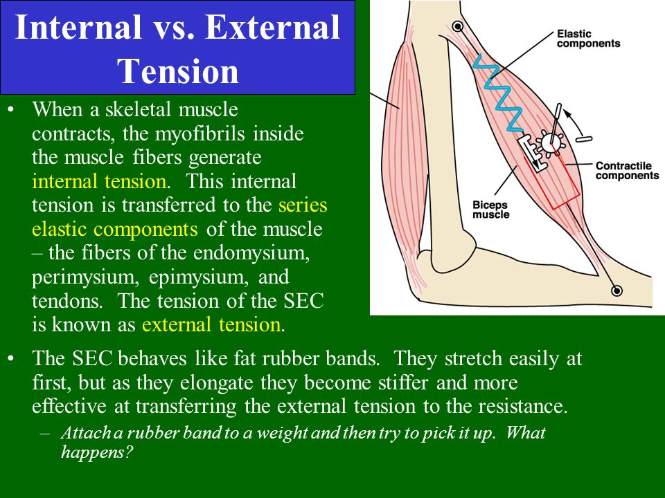 Internal vs. External Tension When a skeletal muscle contracts, the myofibrils inside the muscle fibers generate internal tension. This internal tensi