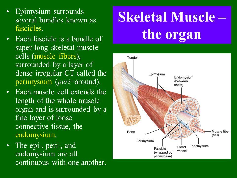 Skeletal Muscle – the organ Epimysium surrounds several bundles known as fascicles. Each fascicle is a bundle of super-long skeletal muscle cells (mus