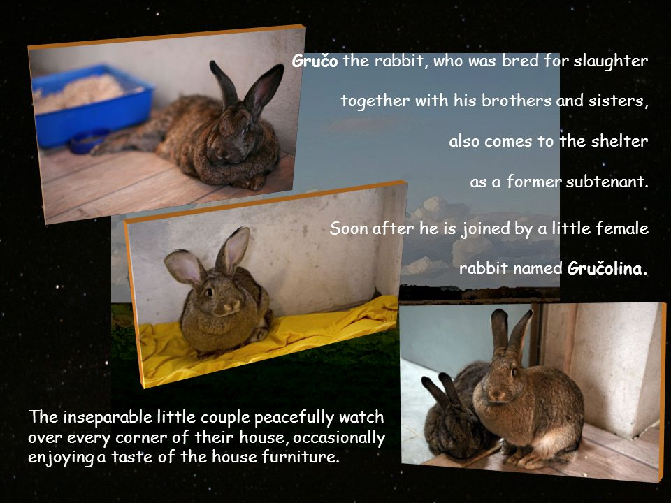 Gručo the rabbit, who was bred for slaughter together with his brothers and sisters, also comes to the shelter as a former subtenant.