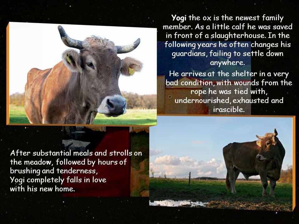 Yogi the ox is the newest family member.