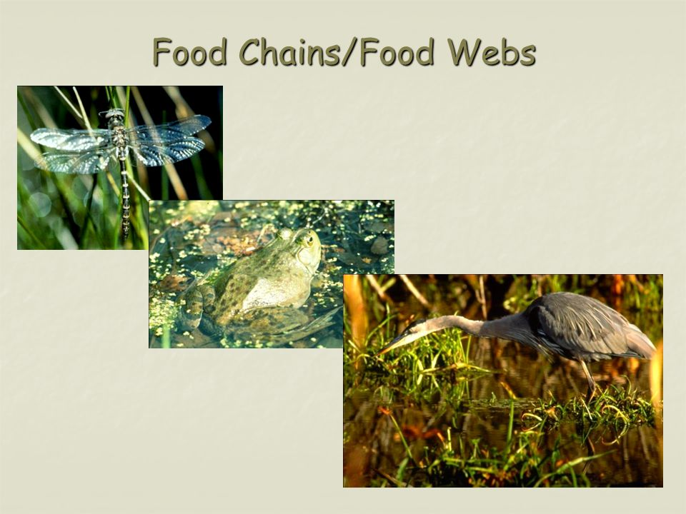 Food Chains/Food Webs
