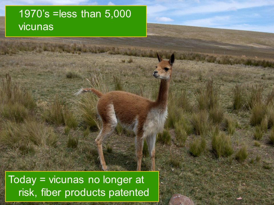 16 1970's =less than 5,000 vicunas Today = vicunas no longer at risk, fiber products patented