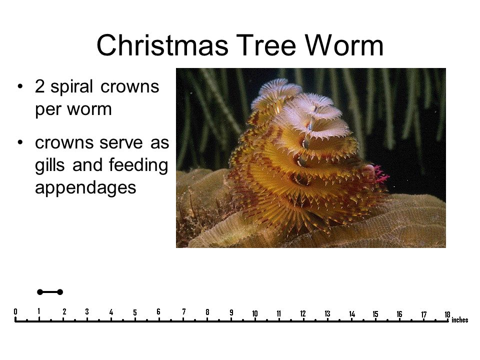 Christmas Tree Worm 2 spiral crowns per worm crowns serve as gills and feeding appendages