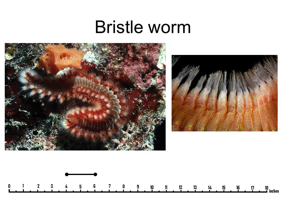 Bristle worm