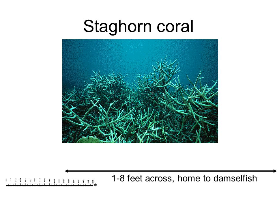 Staghorn coral 1-8 feet across, home to damselfish