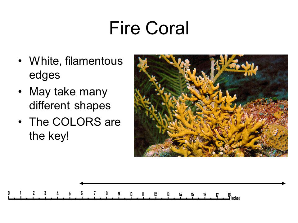 Fire Coral White, filamentous edges May take many different shapes The COLORS are the key!