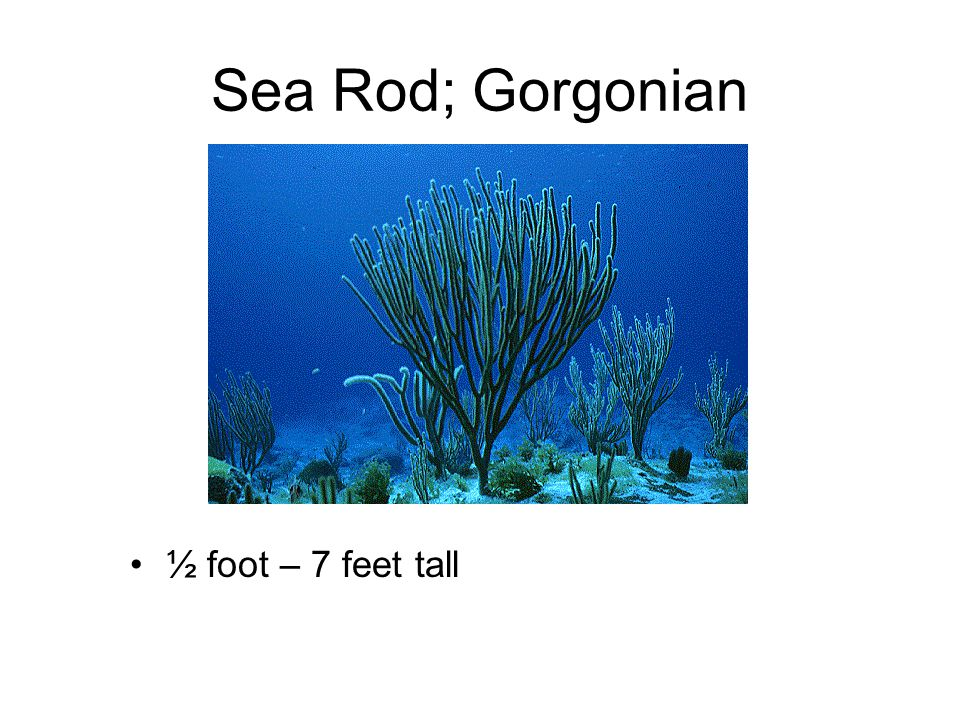 Sea Rod; Gorgonian ½ foot – 7 feet tall