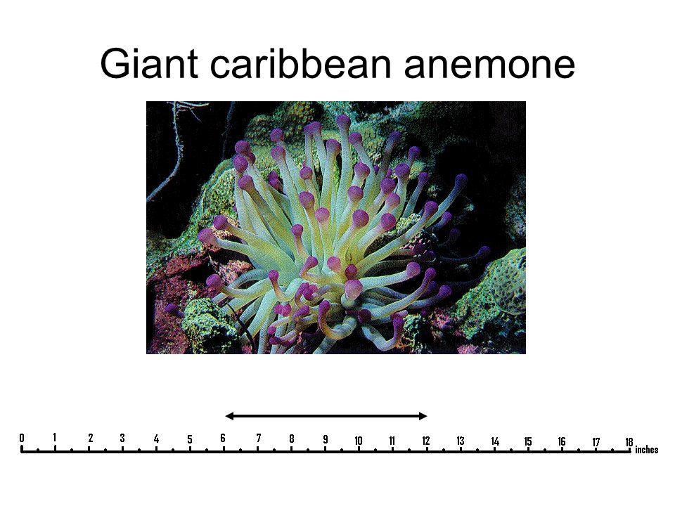 Giant caribbean anemone