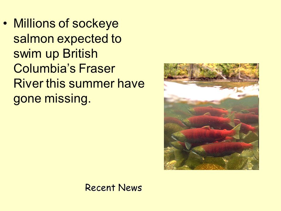 Millions of sockeye salmon expected to swim up British Columbia's Fraser River this summer have gone missing. Recent News