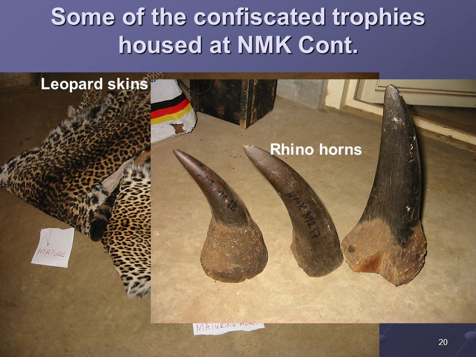 20 Some of the confiscated trophies housed at NMK Cont. Leopard skins Rhino horns