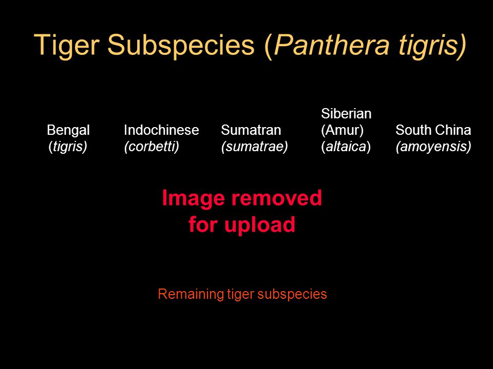 Tiger Subspecies (Panthera tigris) Bengal (tigris) Remaining tiger subspecies Siberian (Amur) (altaica) Indochinese (corbetti) South China (amoyensis) Sumatran (sumatrae) Image removed for upload