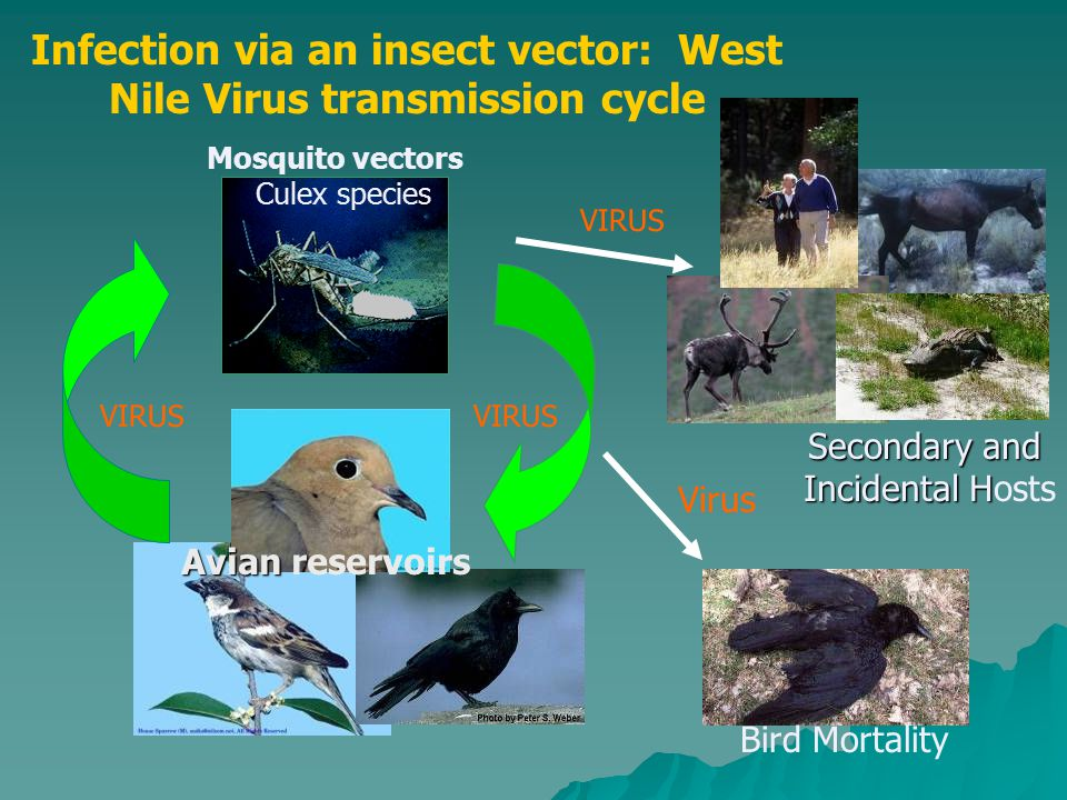 Infection via an insect vector: West Nile Virus transmission cycle VIRUS Secondary and Incidental H Incidental Hosts VIRUS Mosquito vectors Culex spec