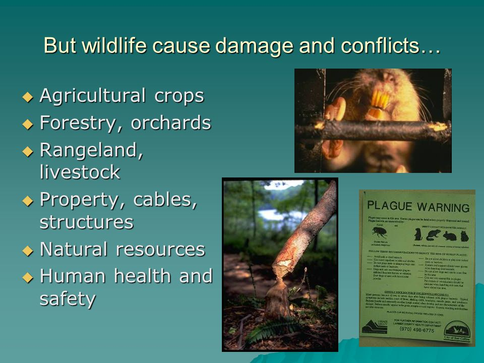 But wildlife cause damage and conflicts…  Agricultural crops  Forestry, orchards  Rangeland, livestock  Property, cables, structures  Natural resources  Human health and safety