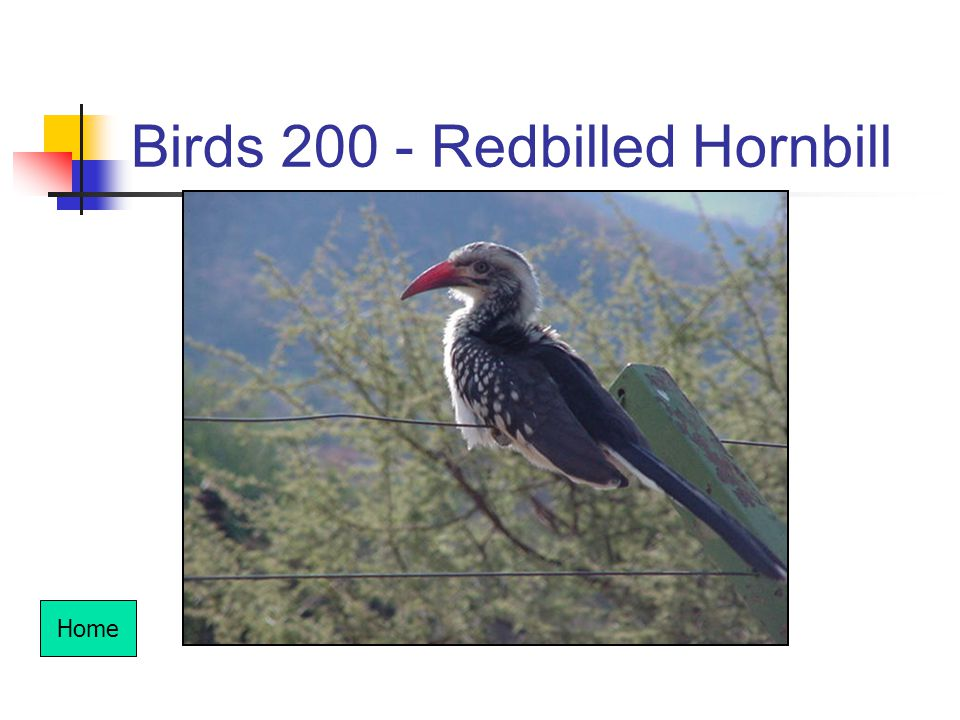 Birds 200 - Redbilled Hornbill Home