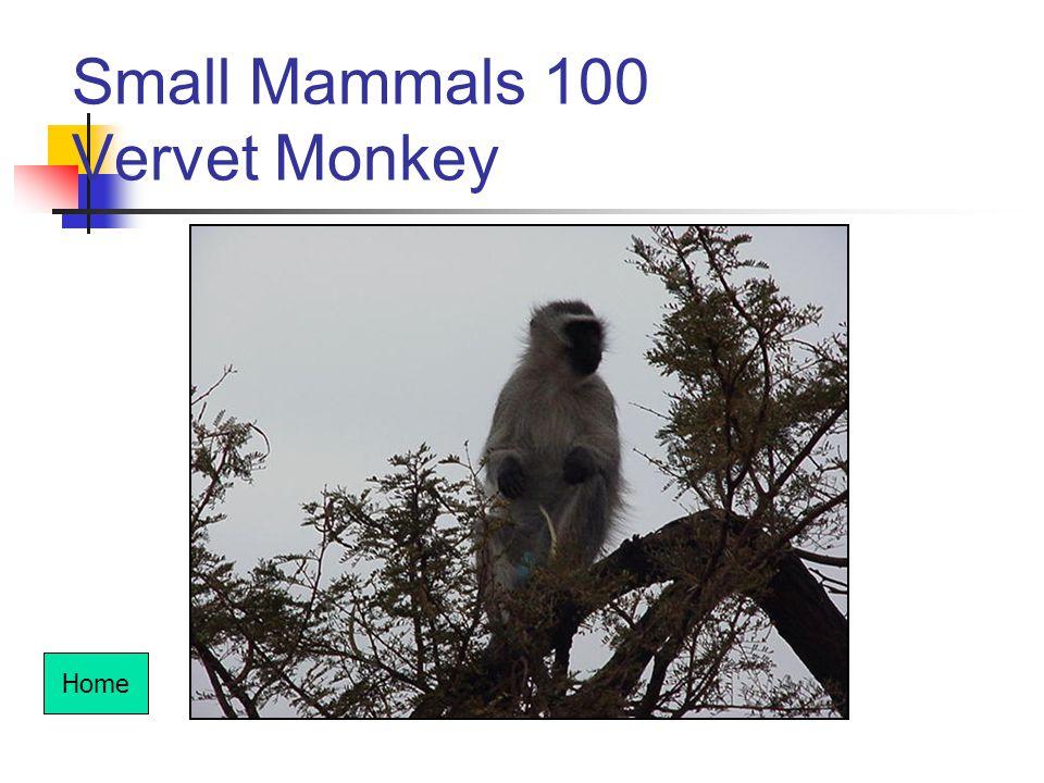 Small Mammals 100 Vervet Monkey Home