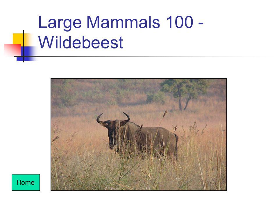 Large Mammals 100 - Wildebeest Home