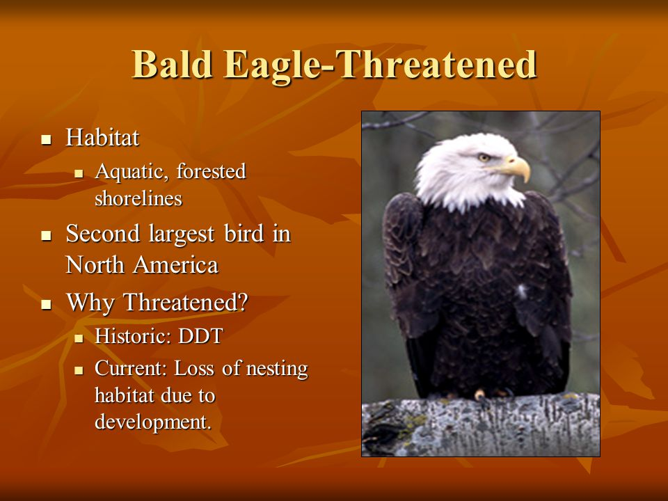 Bald Eagle-Threatened Habitat Habitat Aquatic, forested shorelines Aquatic, forested shorelines Second largest bird in North America Second largest bird in North America Why Threatened.