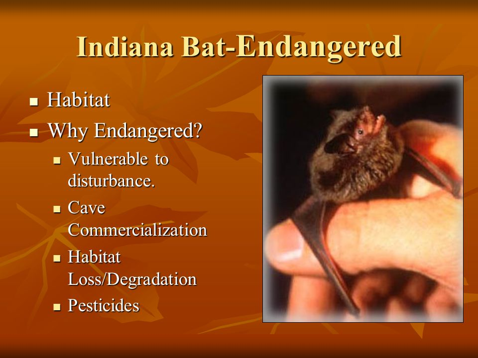 Indiana Bat- Endangered Habitat Habitat Why Endangered.