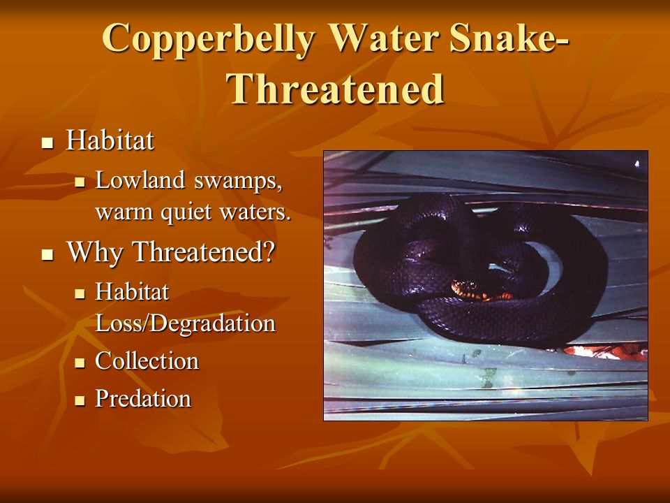 Copperbelly Water Snake- Threatened Habitat Habitat Lowland swamps, warm quiet waters.