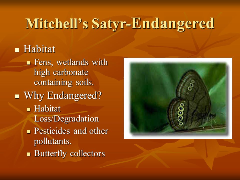 Mitchell's Satyr- Endangered Habitat Habitat Fens, wetlands with high carbonate containing soils.