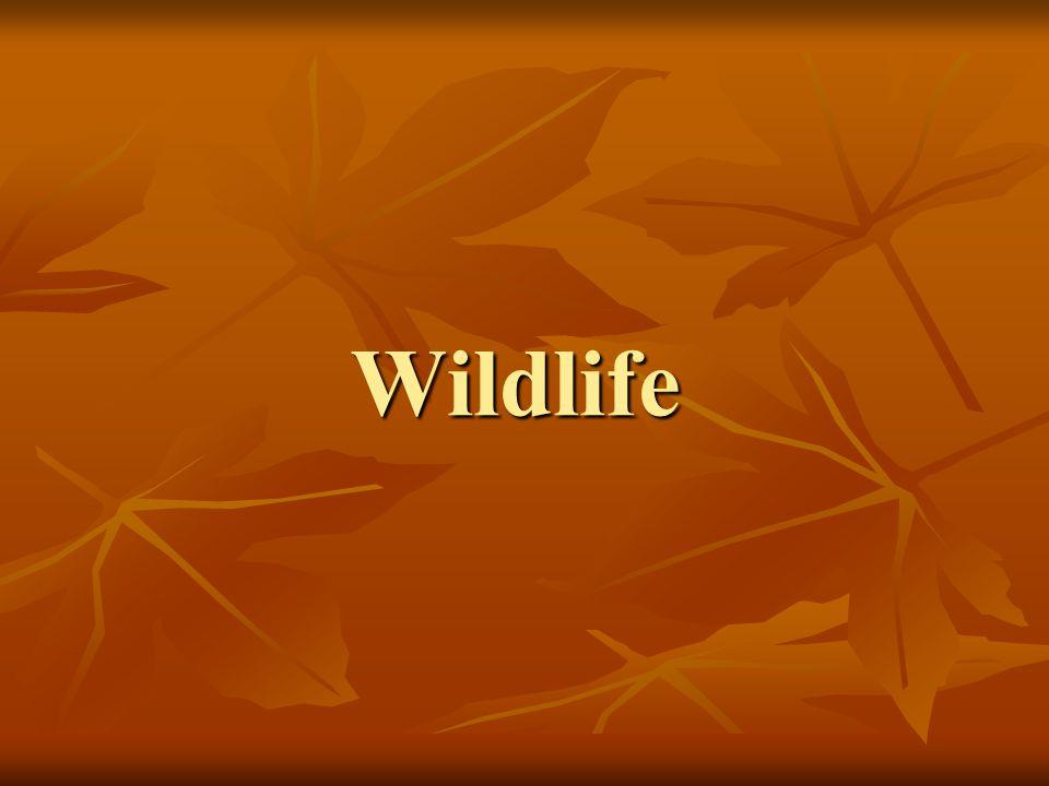 Copperbelly Water Snake- Threatened Habitat Habitat Lowland swamps, warm quiet waters.