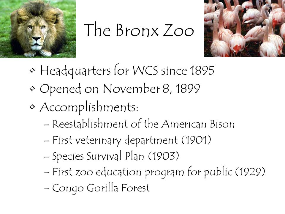 The Bronx Zoo Headquarters for WCS since 1895 Opened on November 8, 1899 Accomplishments: –Reestablishment of the American Bison –First veterinary department (1901) –Species Survival Plan (1903) –First zoo education program for public (1929) –Congo Gorilla Forest