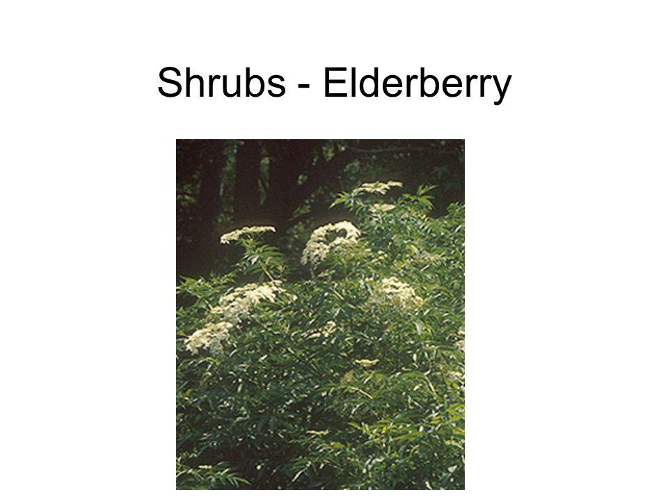 Shrubs - Elderberry