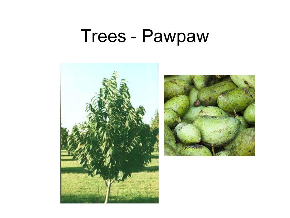 Trees - Pawpaw