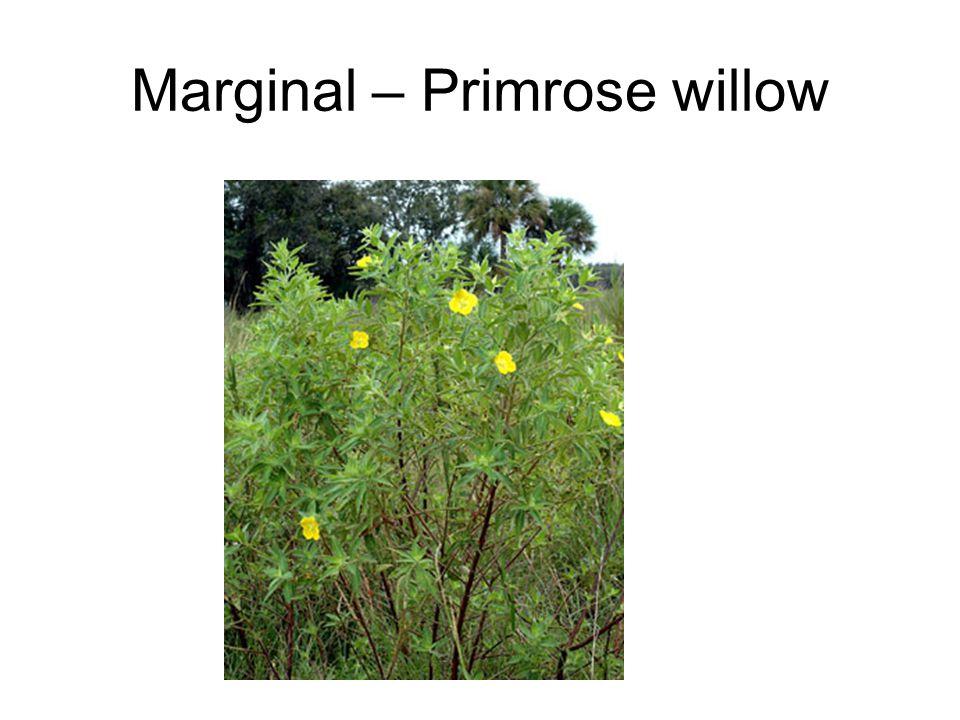 Marginal – Primrose willow