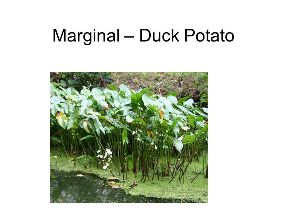 Marginal – Duck Potato