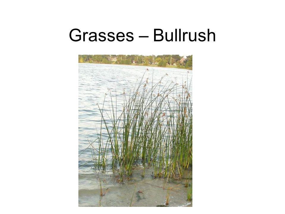 Grasses – Bullrush