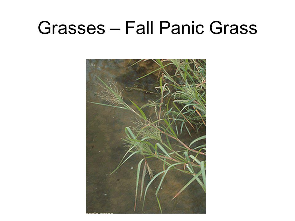 Grasses – Fall Panic Grass