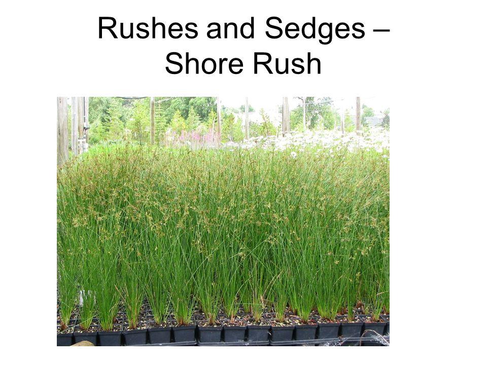Rushes and Sedges – Shore Rush