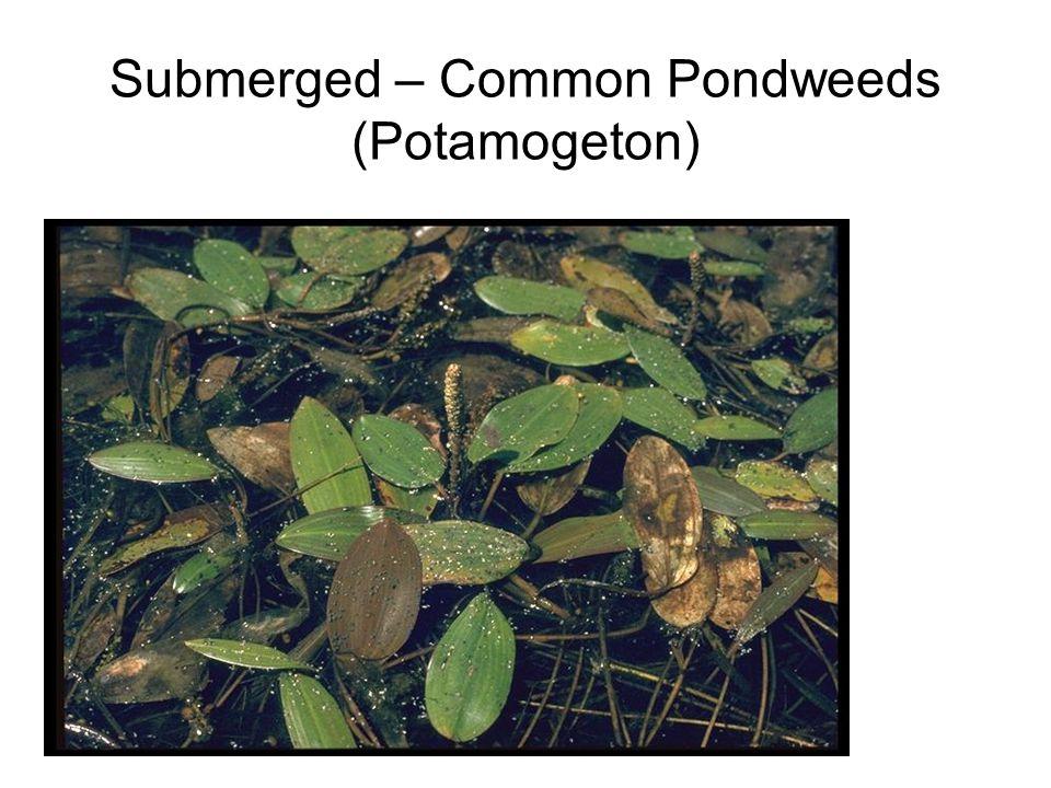 Submerged – Common Pondweeds (Potamogeton)