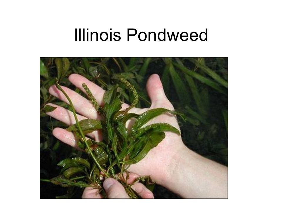 Illinois Pondweed