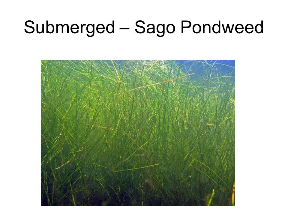 Submerged – Sago Pondweed