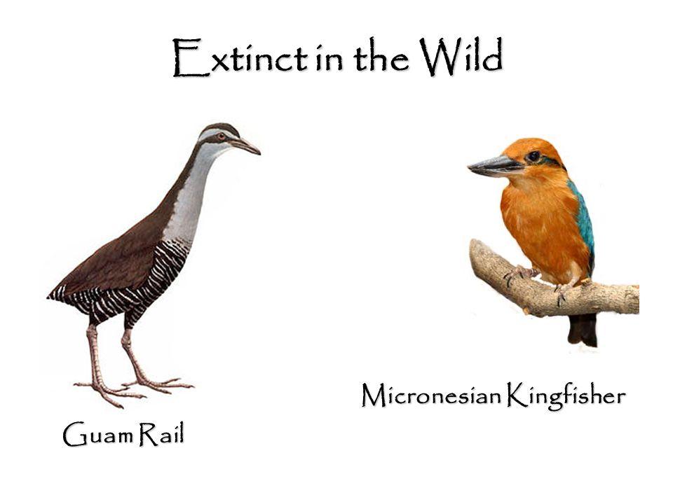 Guam Rail Micronesian Kingfisher