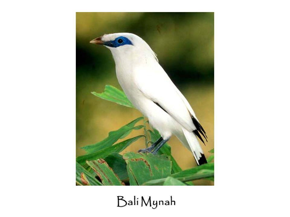 Bali Mynah
