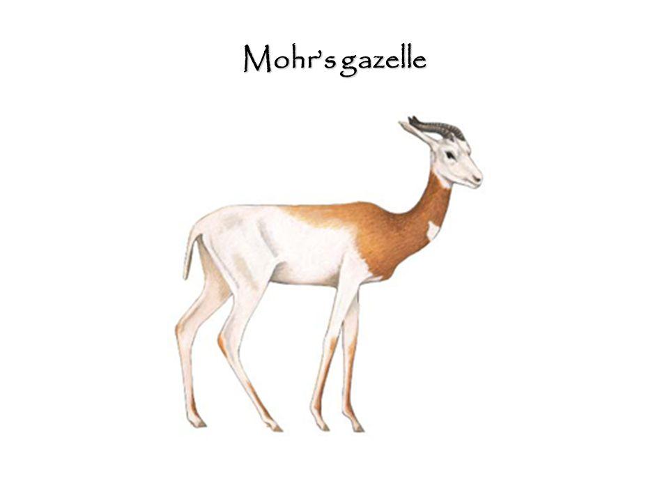 Mohr's gazelle