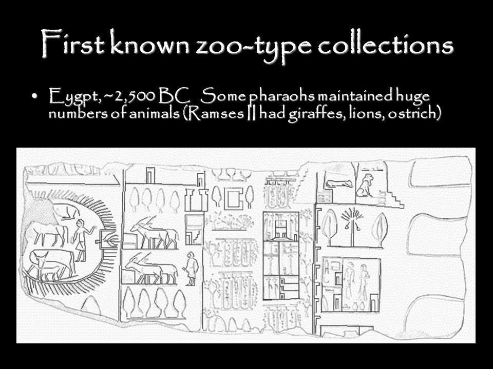 First known zoo-type collections Eygpt, ~2,500 BC Some pharaohs maintained huge numbers of animals (Ramses II had giraffes, lions, ostrich)Eygpt, ~2,500 BC Some pharaohs maintained huge numbers of animals (Ramses II had giraffes, lions, ostrich)