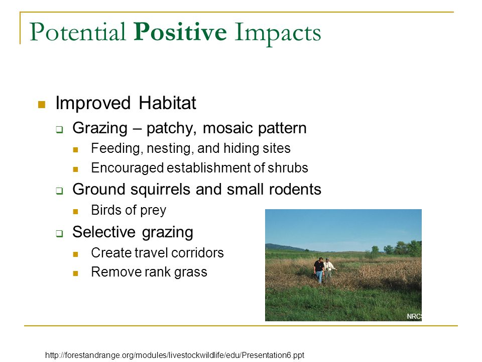 Potential Positive Impacts Improved Habitat  Grazing – patchy, mosaic pattern Feeding, nesting, and hiding sites Encouraged establishment of shrubs  Ground squirrels and small rodents Birds of prey  Selective grazing Create travel corridors Remove rank grass NRCS photo http://forestandrange.org/modules/livestockwildlife/edu/Presentation6.ppt