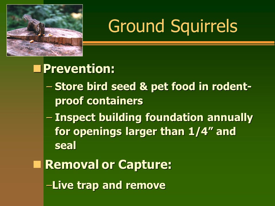 Ground Squirrels nPrevention: –Store bird seed & pet food in rodent- proof containers –Inspect building foundation annually for openings larger than 1/4 and seal Removal or Capture: –Live trap and remove