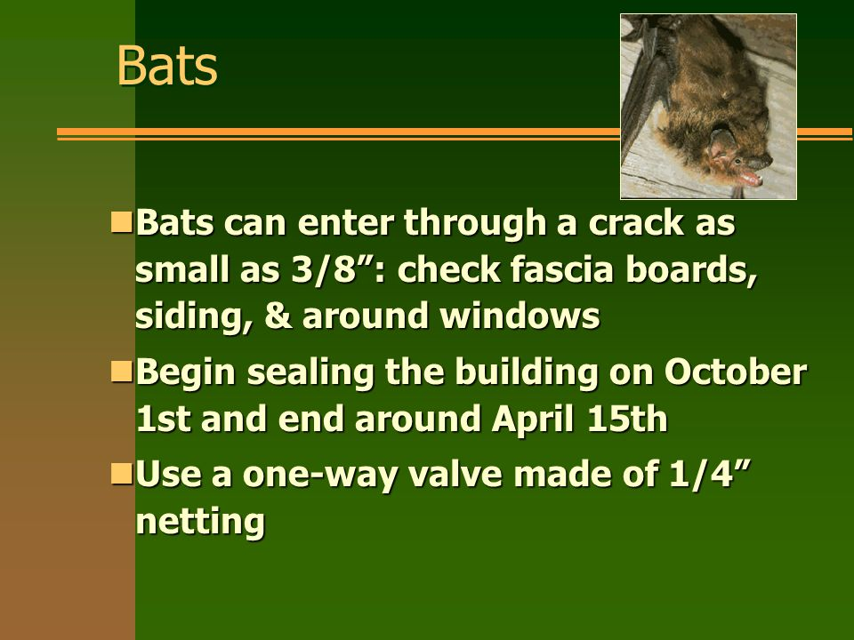 Bats nBats can enter through a crack as small as 3/8 : check fascia boards, siding, & around windows nBegin sealing the building on October 1st and end around April 15th nUse a one-way valve made of 1/4 netting
