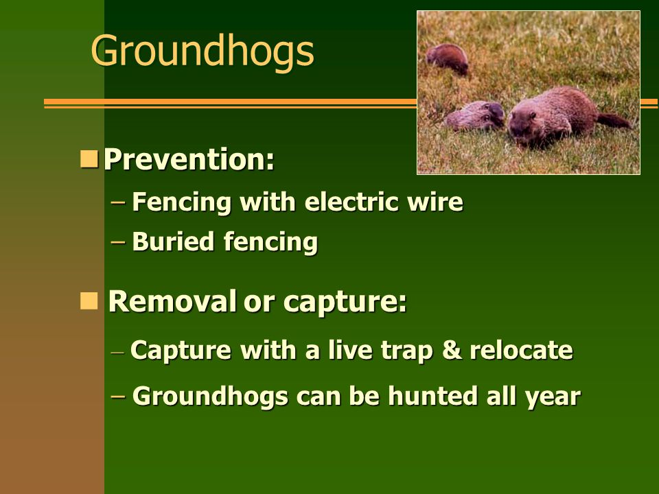 Groundhogs nPrevention: –Fencing with electric wire –Buried fencing Removal or capture: – Capture with a live trap & relocate – Groundhogs can be hunted all year